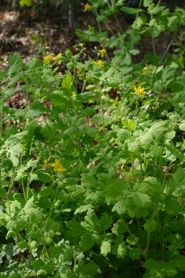 Stinkende-gouwe-schaduwtuin-midden-april