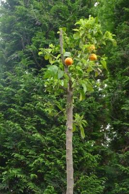 Bittere-sinaasappel-vruchten-eind-mei
