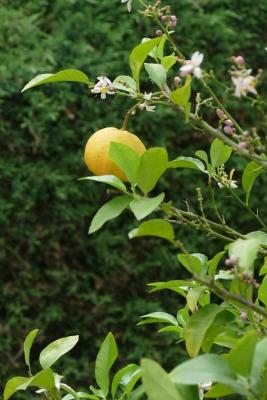 citrus-adamsappel-detail-einde-mei-