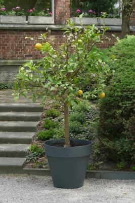 citrus-adamsappel-einde-mei