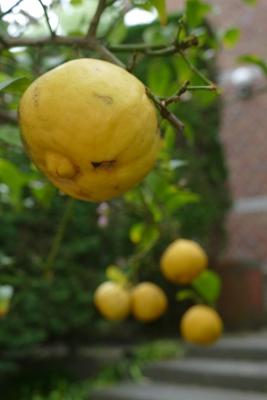 citrus-adamsappel-vrucht-einde-mei