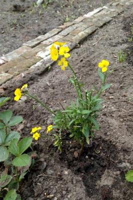 Muurbloem-groententuin-midden-april