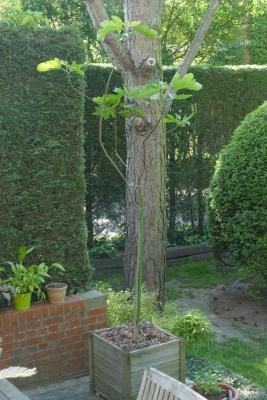Vijgenboom-midden-mei