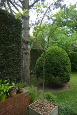 Vijgenboom-terras-achteraan-eind-april