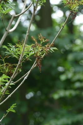 Pluimes-detail-bloem-einde-mei
