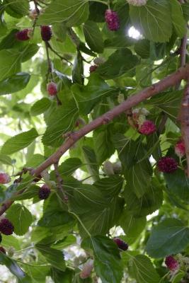 Moerbeiboom-vruchtenbegin-juli
