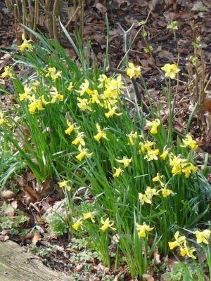 Narcis-border-kastanjebomen-midden-februari