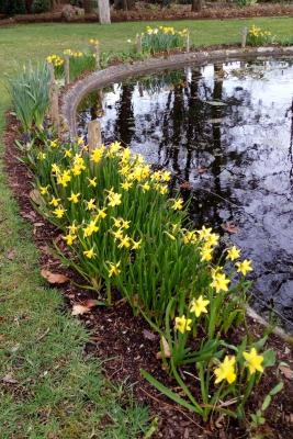 Narcis-border-vijver-midden-april