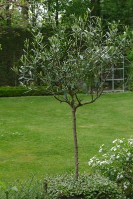 Olijfboom-tuin-achteraan-eind-april