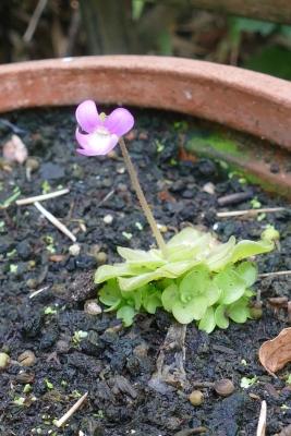 Vetblad-met-bloem