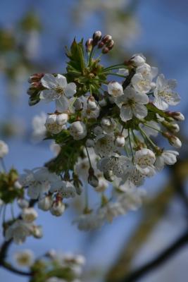 Zoete-kers-bloesem-fruittuin-einde-maart