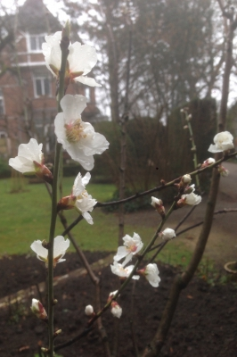 Amandelboom-bloesem-moestuin-begin-maart