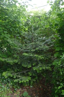 zilverspar-border-kastanjebomen-einde-mei
