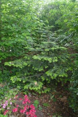 zilverspar-in-border-kastanjebomen